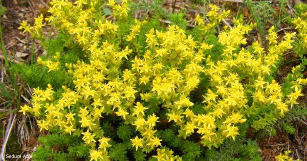 Yellow flowering Goldmoss Sedum