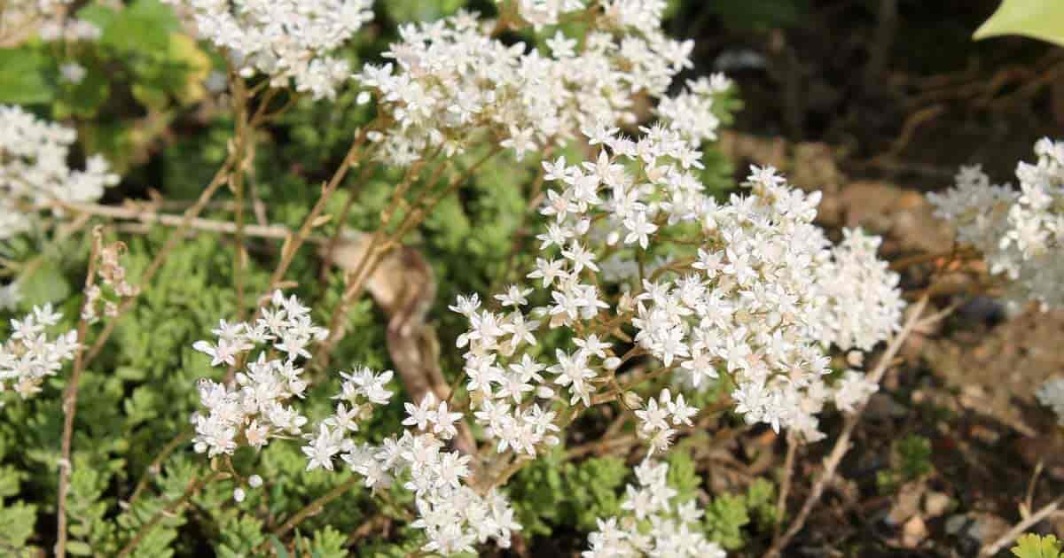 White Sedum stonecrop
