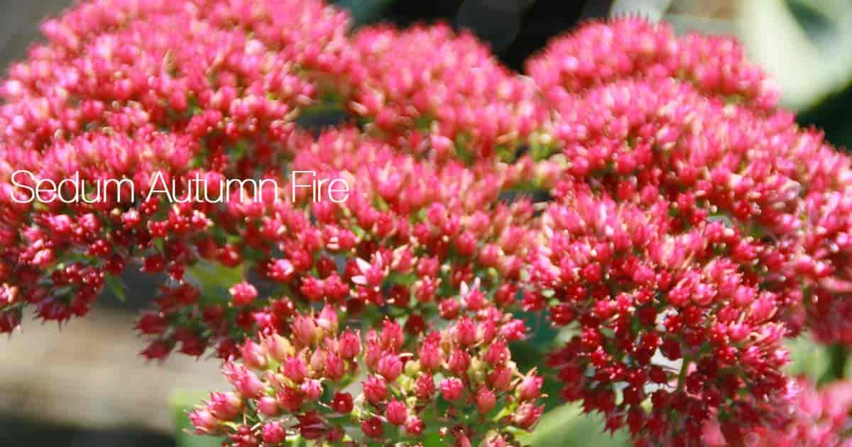 Flowering Sedum Autumn Fire Stonecrop