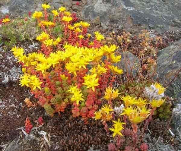 Yellow Flowering Stonecrop old man sedum
