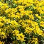 Yellow flowering of the Russian stonecrop sedum