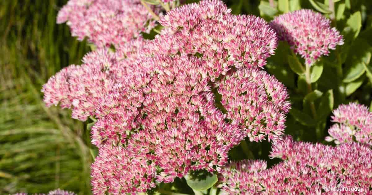 Flowering Sedum Matrona Tail Stonecrop