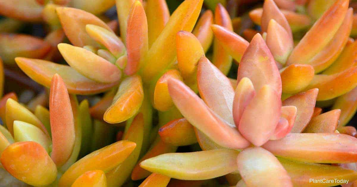 The Coppertone Sedum nussbaumerianum