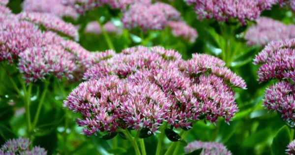 Pink and white flower of the Sedum plant