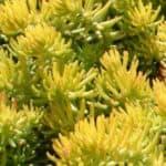 Sedum Reflexum Care: Learn How To Grow The Blue Spruce Stonecrop