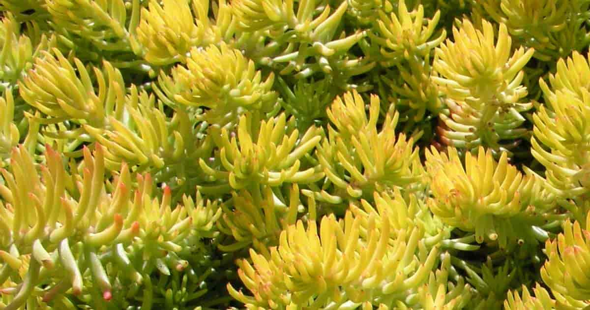 Reflexum Sedum looks like a blue spruce, is drought tolerant and used as a ground cover