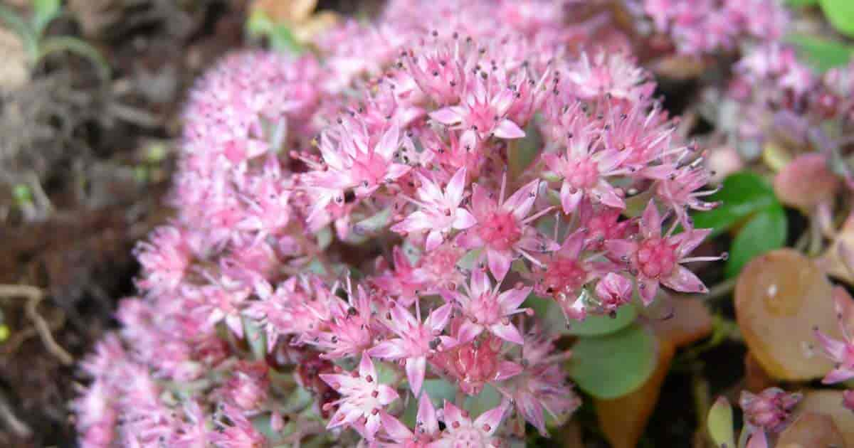 Pink Sedum flowers of Sedum Sieboldii