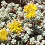 Broadleaf stonecrop plant and yellow flower