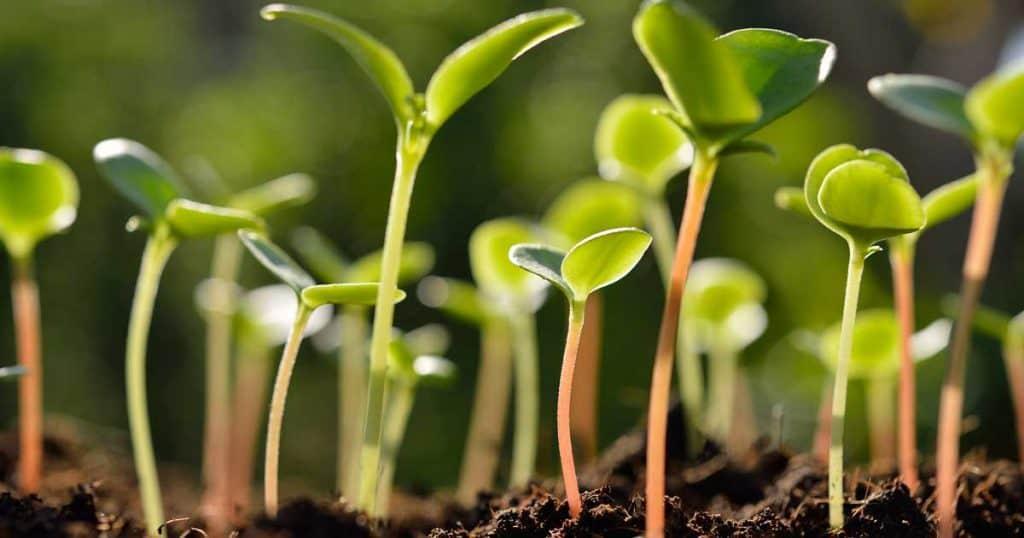 Epsom salt helps seedling get off to a good start