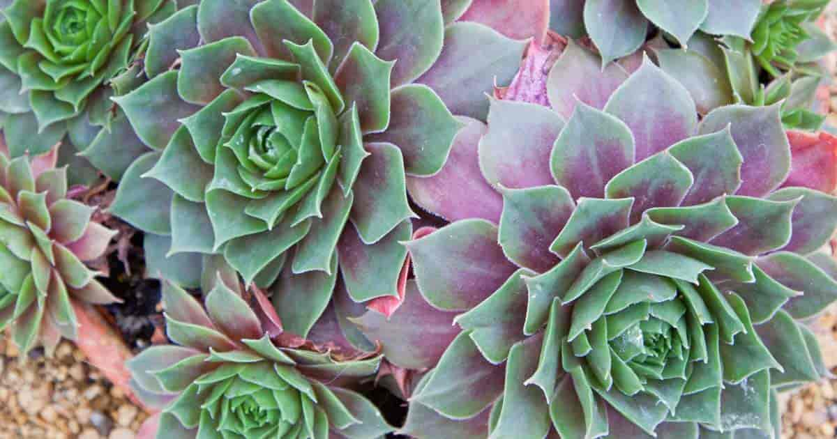 Sempervivum Hens and Chicks