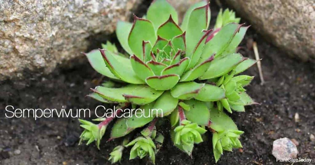 Close up of Sempervivum calcareum - houseleak plant