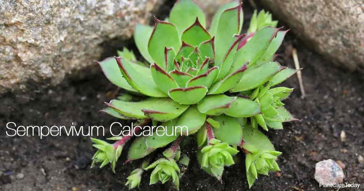 Sempervivum calcareum (houseleak plant) up close