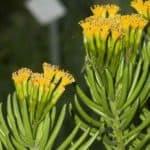 Growing Senecio Barbertonicus Plants: Caring For Lemon Bean Bush