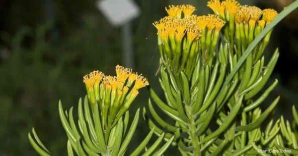 Blooming Senecio barbertonicus