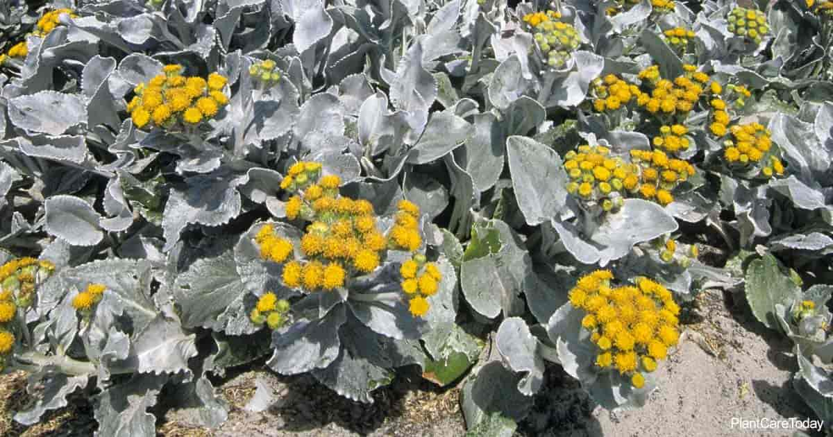 Mounded grayish foliage of Senecio Angel Wings