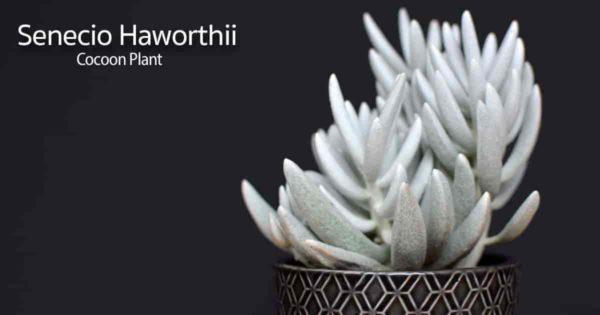 potted Woolly senecio plant