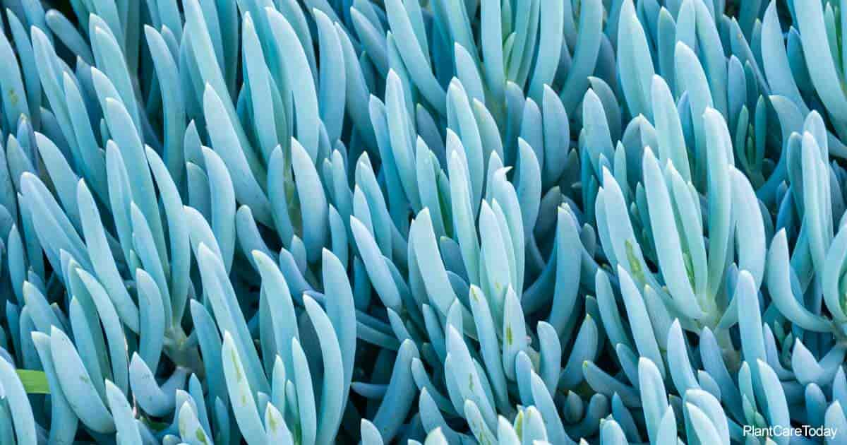 The Bluechalk Sticks of Senecio Mandraliscae