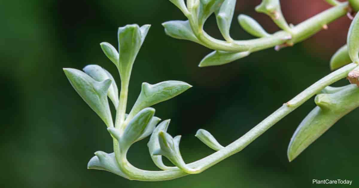 unique Senecio Peregrinus Plant