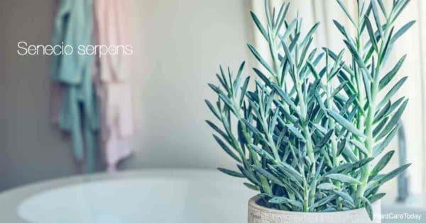 Indoor potted Senecio Serpens (mini bluechalk stick plant)