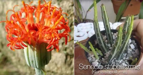 Flowering Pickle Plant - Senecio Stapeliiformis