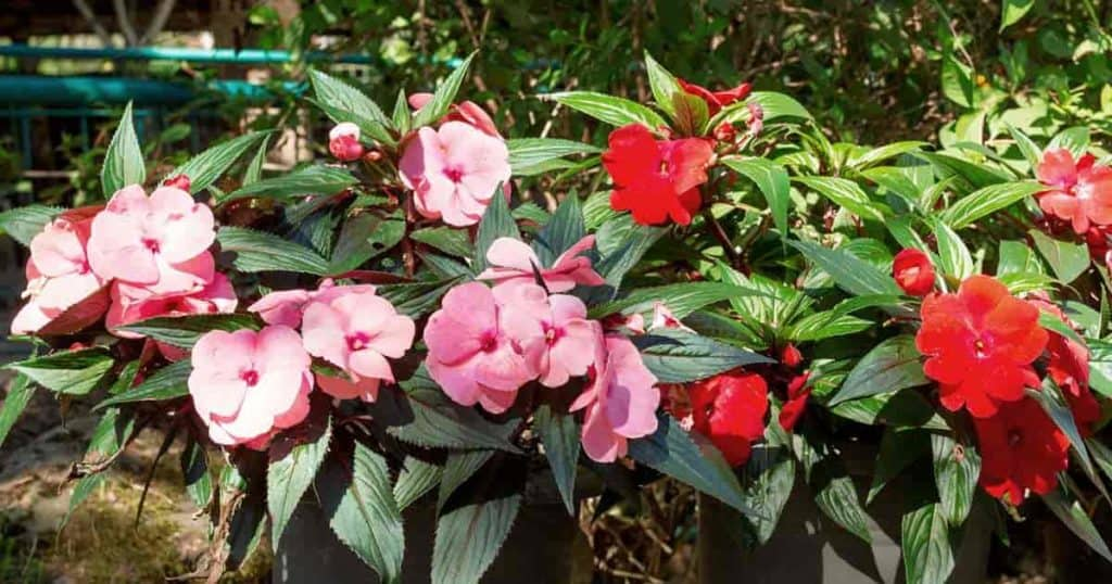 Colorful New Guinea impatiens potted in shade
