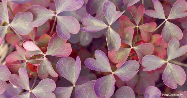 leaves of the purple Shamrock Poisonous