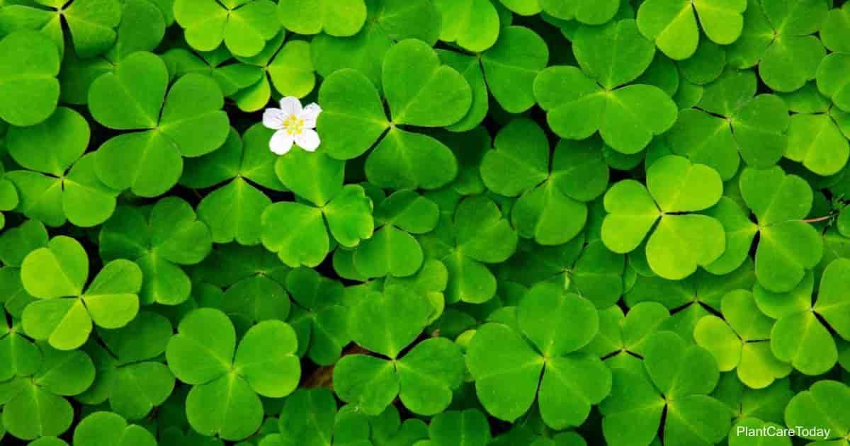 Green foliage of the Shamrock Plant (Oxalis)