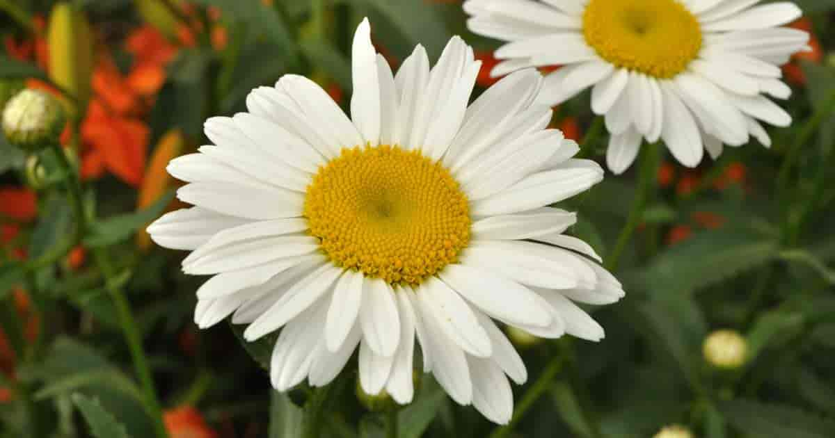 Shasta daisy of the composite family