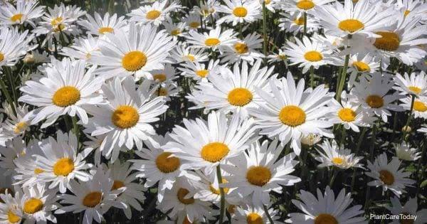 White flowers of the Shasta Daisy