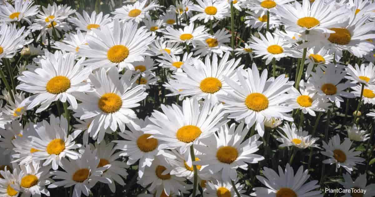 White flowers of the Shasta Daisy