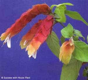 Image result for shrimp flower pictures