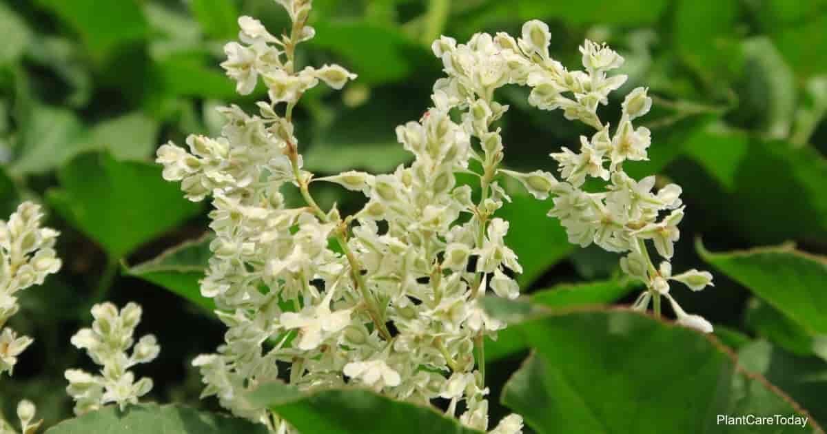 Blooming Silver Lace Vine (Polygonum Aubertii)