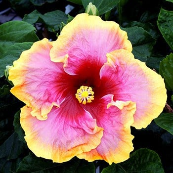 beautiful hibiscus to wow your patio, Natural flower