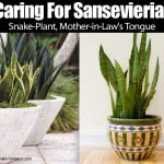 The snake plant growing in pots