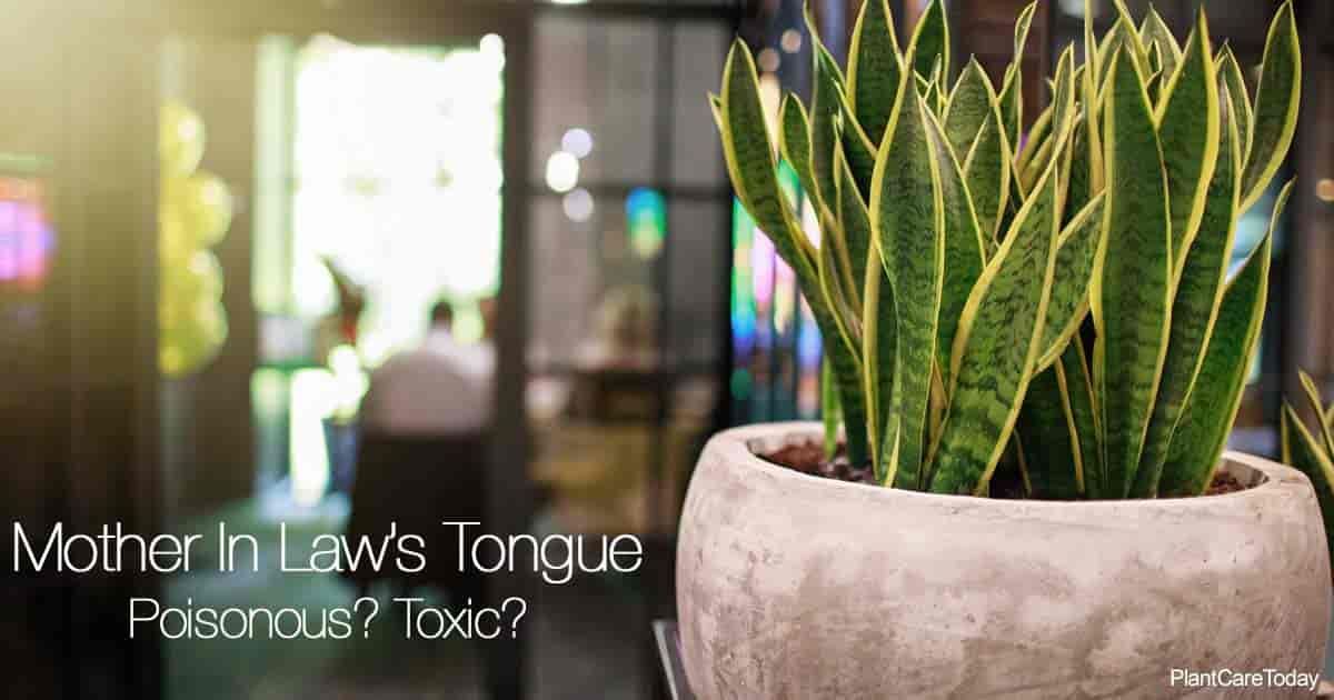 Potted Poisonous Snake Plant (Mother In Law Tongue)