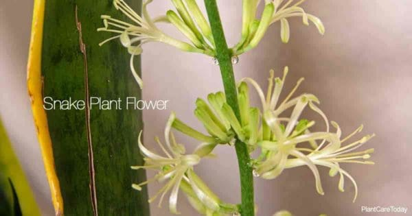 Flower of the snake plant (Sansevieria) tongue plant