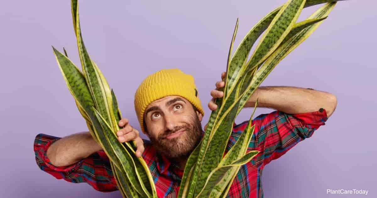 tall snake plant - bowstring hemp with man looking through it