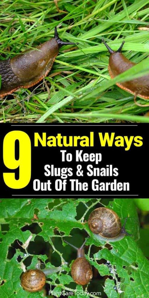 snails eating hosta leaves, slugs seeking food