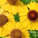 Sneezeweed Secondary Kw: Helenium Autumnale