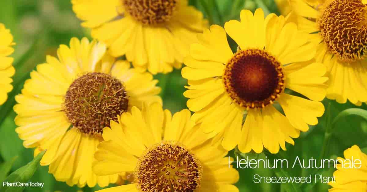 Blooms of the Sneezeweed - Helenium