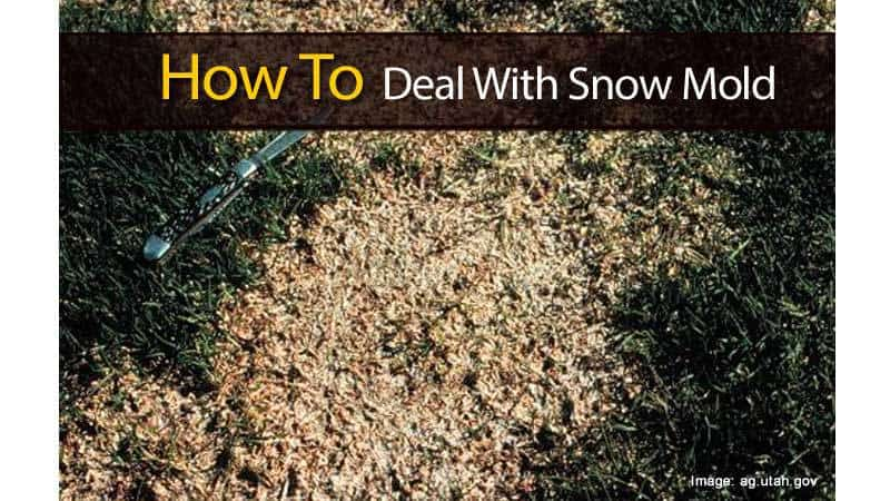 How to deal with snow mold - How to deal with mold ...