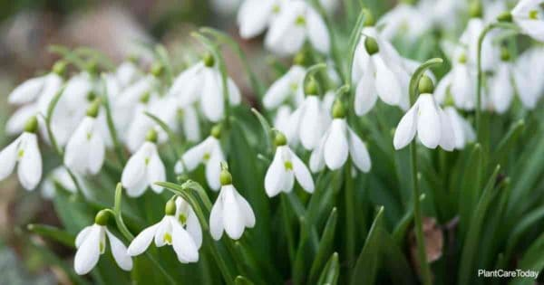 Dainty flowers of the Snowdrop Flower (Galanthus) plant