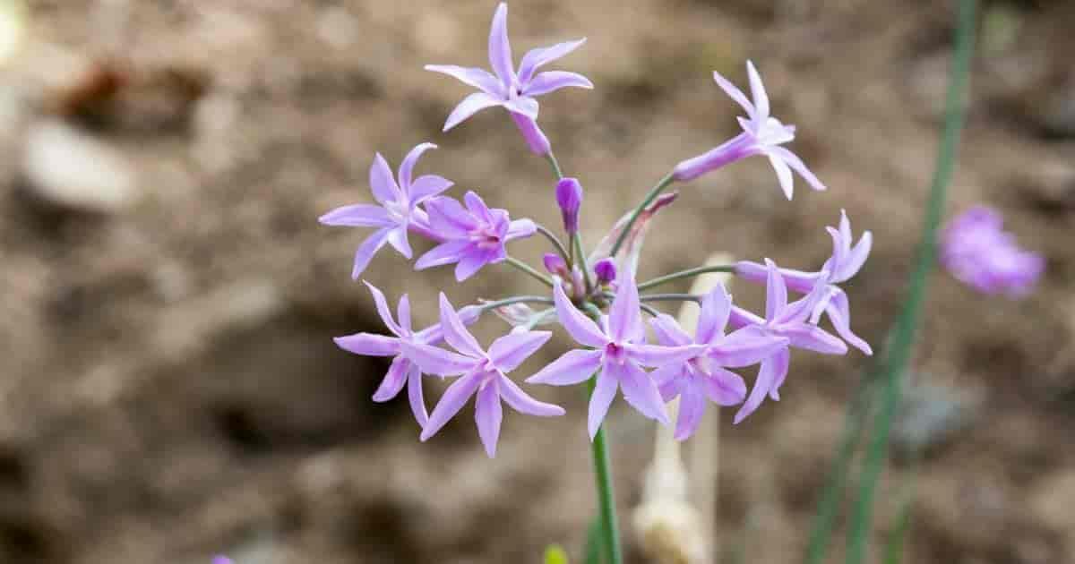 blooming Tulbaghia violacea