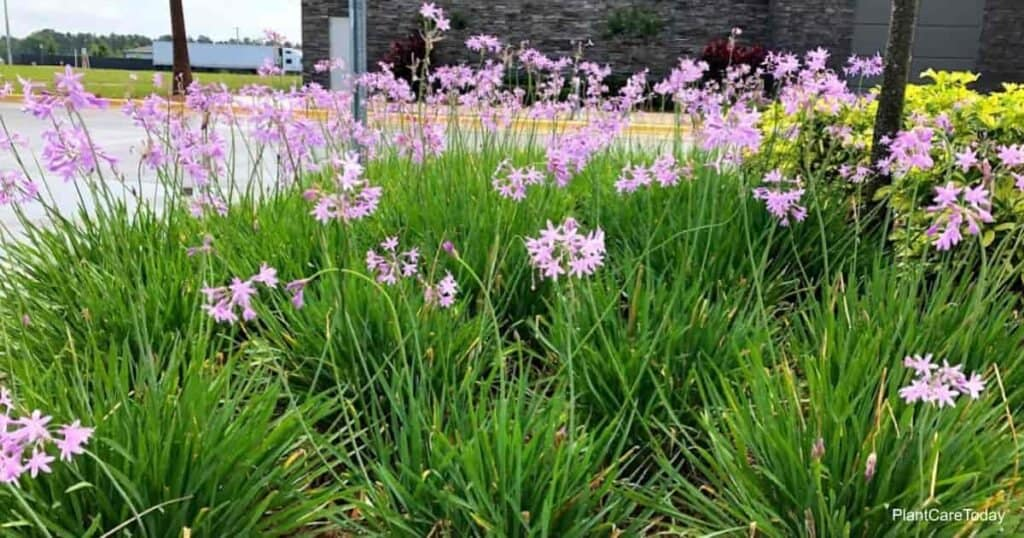 Society Garlic blooming in the landscape