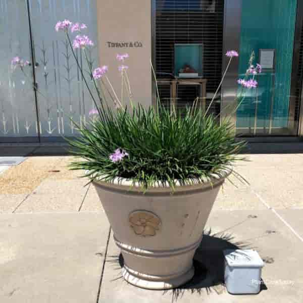 Potted, blooming Society Garlic growing in full sun St Johns Town Center, Jacksonville Florida