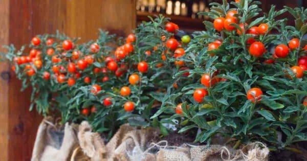 Fruits of Solanum Pseudocapsicum - Jerusalem Cherries
