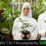 Soluble Salts On Houseplants Still A Problem