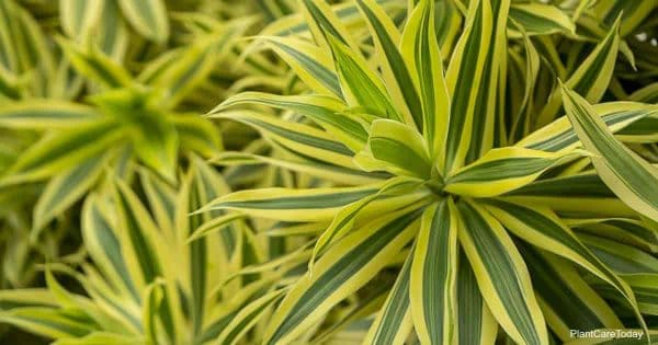Attractive leaves of the Song of India Dracaena