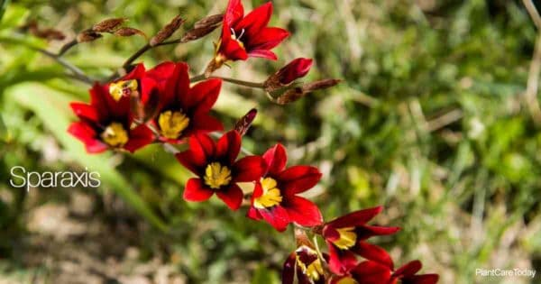 Flowers of the Harlequin Flower (Sparaxis)