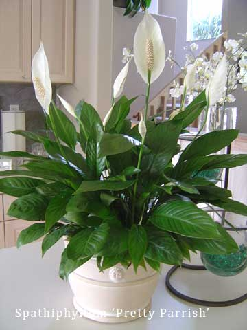 Pretty house plants 28 images trees bonsai trees and home on pinterest cyclamen - Pretty indoor plants ...